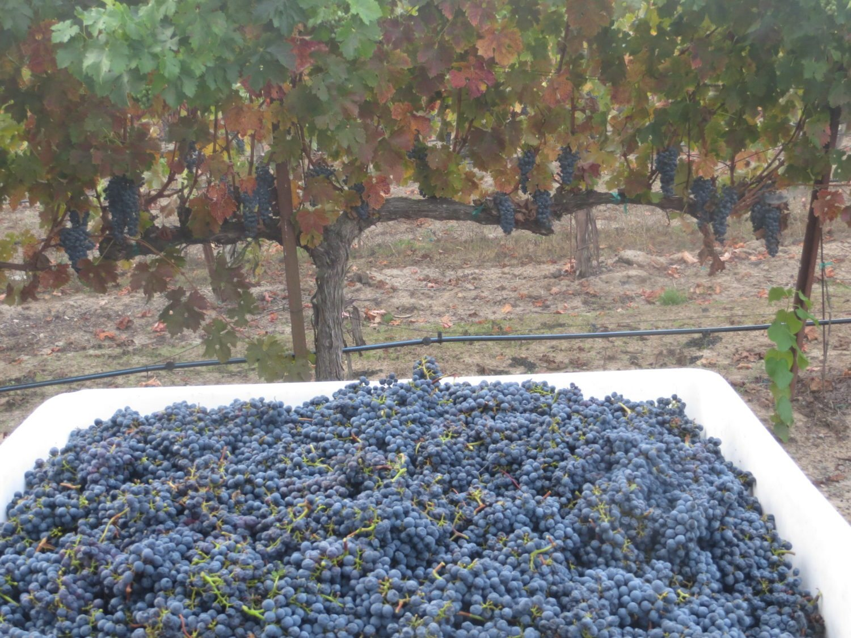 Harvest 2014 at Tara Bella Winery